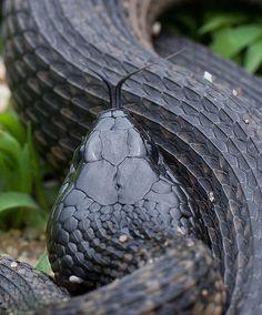 Thamnophis validus [Cape Garter Snake] | by kkchome