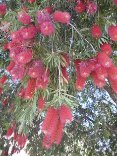 Bottlebrush - Callistemon.....Profusely flowering (I have 4 in my garden flowering spectacularly as it is Spring) Just adore 'em!  ~  ~  MM