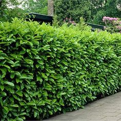 Complete Guide to Fast Growing Hedges for Privacy