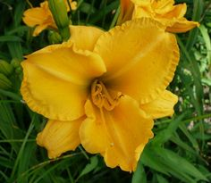 Valley of the Daylilies : PERSNICKETY