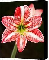 1000 images about amaryllis tattoo on pinterest for Amaryllis sweet pink