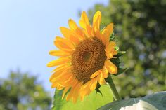 Yellow Summer flowers | by Yasuz