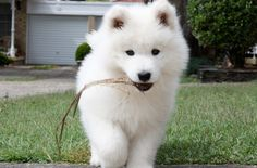 ... above is an image of Samoyed Puppies 5 in Samoyed The Smiley Dog