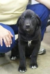 Such a beautiful puppy, little white tips on his paws.  Labs are the BEST family PETS ever!!  Zoe is an adoptable Labrador Retriever Dog in Bartlesville, OK. � Looking for a loving home! This is one big puppy and going to turn into a BIG dog.� Zoe's adoption fee is $115. Please contact us (......http://www.petfinder.com/petdetail/26129269