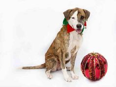 SAFE --- HELP ME PLEASE !!  SET TO BE EUTHANIZED TUE 12/16 Animal ID: A307063 Room No.: WD22  Hi, the Shelter named me Catania. I am an approximately 3 year old br brindle and white female. I am friendly and I have not been tested for heartworms.  https://www.facebook.com/photo.php?fbid=358262221002311&set=a.254488231379711.1073741825.100004556077636&type=3&theater