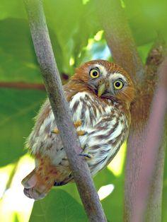 Pygmy owl from Brazil #owl