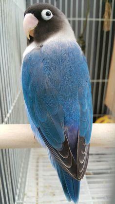 Love Birds Pet, Cute Birds, Pretty Birds, Beautiful Birds, Exotic Birds, Colorful Birds, Exotic Pets, Parrot Pet, Parrot Bird