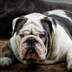 #Bulldog. Severe look
