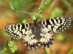 Картинки по запросу как нарисовать бархатницу бабочку