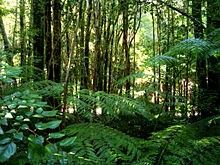 Valdivian temperate rain forest - Wikipedia, the free encyclopedia Brazil Rainforest, Rainforest Biome, Daintree Rainforest, Bamboo Forest Japan, Trees To Plant, Plant Leaves, South American Rainforest, Forest Wallpaper, Nature Plants
