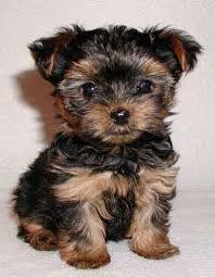 My life needs... A Mini Yorkie!! :)