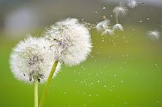 Dandelion's Blowin' in the Wind -- https://flic.kr/p/rphUVU | Lo que el viento se llevó - by Eva Vilar