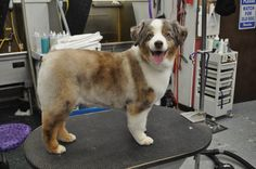 We all love the long luxurious hair of the Australian Shepherd. If you have an Australian Shepherd, find out what are the best grooming styles for them. Grooming Australian Shepherd, Australian Shepherd Red Tri, Aussie Shepherd, Mini Shepherd, Toy Aussie, Aussie Puppies, Mini Aussie, Australian Puppies, Corgi Puppies