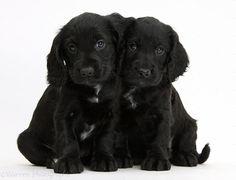 Photograph of Black Cocker Spaniel puppies. Rights managed white background Dogs image. Beagle, Corgi, Shiba Inu, Golden Retriever, Labrador Retriever, Black Cocker Spaniel Puppies, Pomsky, Herding Dogs, Australian Shepherd