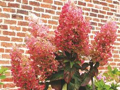 Hydrangeas: consistent colour - Garden Design Journal