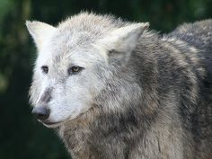 Wolf | This wolf was waiting for the alpha male to finish ea… | Flickr