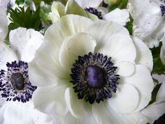 Types of Flowers Anemone: Anemone flowersgrow up to two feet tall and come in a variety of colors, including red, blue, purple and w. White Anemone Flower, My Flower, White Flowers, Flower Art, Flower Power, Beautiful Flowers, Anenome Flower, Flower Room, Flower Crowns