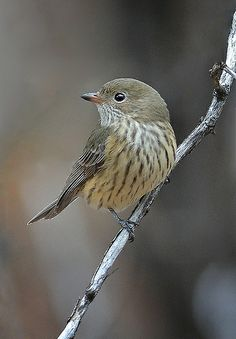 Rufous Whistler, Female. Great earth tone colors for interior and exterior paint.