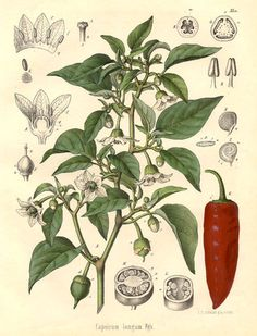 Helpful Herbs: Paprika -- One of my favorites spices to use in a wide variety of recipes, Paprika is easy to grow outdoors or in a greenhouse. Growing much like other pepper varieties, Paprika can be started as seedlings and transplanted outdoors, or sown directly in the garden in Zones 6 and higher.