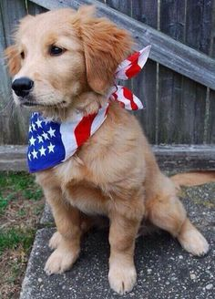American puppy golden retriever