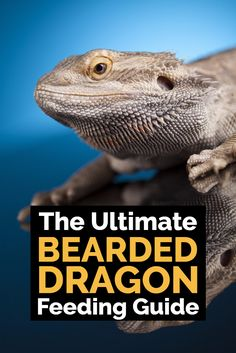What do bearded dragons eat? What are the common mistakes that bearded dragon owners make with their diet? This ultimate guide to feeding bearded dragons will reveal everything you need to know to keep your pet lizard fit and healthy throughout their long lifetime. An essential read for all reptile keepers - especially those with pet bearded dragons.