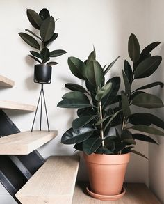 Zielony odstresowuje otocz si wyj tkowymi kwietnikami stoj cymi kt re ud wign du e i bardzo zielone ro liny Let these big green plants take your stress away and provide them with our extraordinary plant stands # Ficus Elastica, Indoor Plant Pots, Potted Plants, Shade Plants, Plants On Balcony, Indoor House Plants, Big House Plants, Indoor Green Plants, Indoor Trees