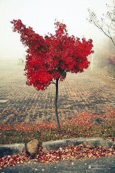 Maple tree, Gurye, South Korea