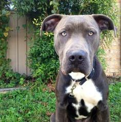 LEVI Pit Bull Terrier • Adult • Male • Large PAWS Shelter and Humane Society Kyle, TX