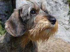 Image result for wire haired dachshund