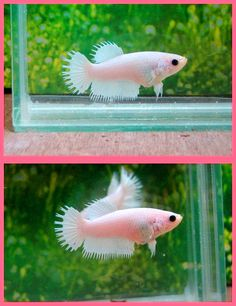 New Crowntail White Platinum Female heading to my home  from Thailand (bred by Emmygolf) later this month.