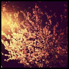 あやchanちの近所の公園❀夜桜