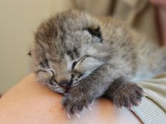 This past weekend, record rainfall caused catastrophic flooding in Nashville and the Nashville Zoo staff worked day and night to ensure their animals' welfare. Their hard work paid off with not one, but two remarkable births, welcoming a Eurasian lynx. Lynx Kitten, Lynx Lynx, Crazy Cat Lady, Crazy Cats, Baby Animals, Cute Animals, Animal Babies, Cutest Kittens Ever, Eurasian Lynx