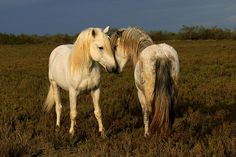 Camargue, France white  stallions by debbie_dicarlo, via Flickr