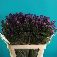 Aster Cecilia(also known as September Flower) is a purple filler flower. 80cm tall & wholesaled 25 stems per wrap.