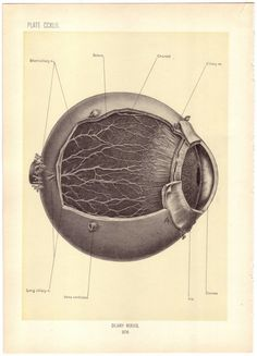 Antique illustration of the eye, 1899