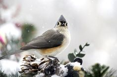 Tufted Titmouse In The Snow by Christina Rollo © www.rollosphotos.com. Close-up side view of a beautiful Tufted Titmouse (Baeolophus bicolor), at rest in the snow. #bird #snow #rollosphotos #photography