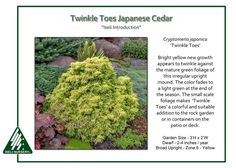 Twinkle Toes Japanese Cedar Cryptomeria japonica 'Twinkle Toes' has bright yellow new growth that appears to twinkle against the mature green foliage of this irregular upright mound. The color fades…