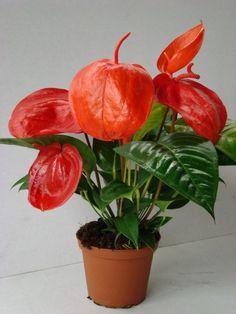 Anthurium scherzerianum - Buscar con Google