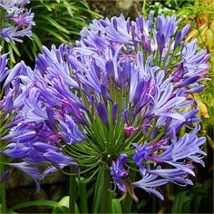 Agapanthus Charlotte is an excellent compact variety of the well loved Nile Lily. It's perfect for nearer the front of the border, or for planters on the patio, and will bloom prolifically from late June to October. Agapanthus have lovely flowe