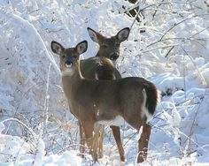 white tails in snow