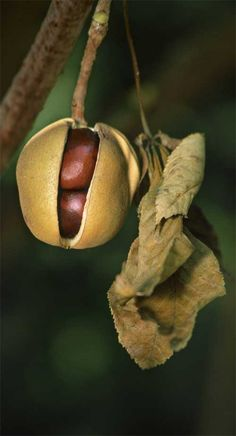 Buckeye fruit / Betsy Moyer
