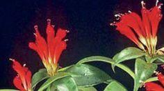 ESCHYNANTUS (Aeschynanthus)