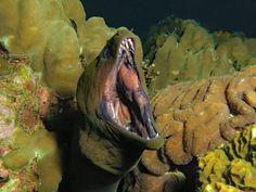 Green Moray Eel at Sail rock #kohtao #thailand #scuba #diving #scubadiving #paditv #underwater #underwaterworld #marinelife #just4diver #bg_photography #underwaterphotography #uwphotography #nature #naturelovers #picoftheday #saltwateraddiction #oceans #adventure #divemaster #bluewater