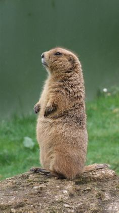 Prairie dog. Love the chairman-of-the-board look.