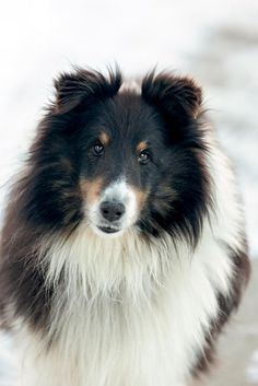 Beautiful Shetland Sheepdog