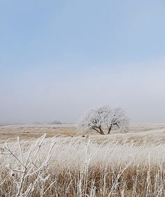 Winter landscape in Nebraska - the frost clings to the delicate prairie grasses and  the tree is white like the sky behind it.