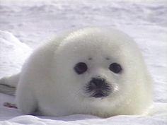 Harp Seal Pups: Like Real Life Stuffed Animals Harp Seal Pup, Baby Harp Seal, Baby Seal, Cute Baby Animals, Animals And Pets, Funny Animals, Cute Seals, Amor Animal, Tier Fotos