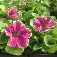 Petunia 'Limelight': Compact variety has trumpet-shaped blooms in rose with lime border. Lime Light is early blooming and highly floriferous with a mounding habit. Grows 8-12 inches with 8-12 inch spread. Full sun.