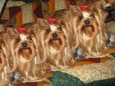Yorkie triplets!!