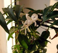 By Becca Badgett (Co-author of How to Grow an EMERGENCY Garden) If winter blooms and sweet, nighttime fragrance appeal to your senses, consider growing jasmine indoors. Not all jasmine flowers are fragrant, but Jasminum polyanthum, the variety commonly used when growing jasmine indoors, has a sweet aroma that is particularly fragrant at night. Let's learn…